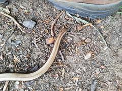 hazelworm - Anguis fragilis - deaf adder (Luc Coekaerts from Tessenderlo) Tags: reptile reptiel hazelworm anguisfragilis blindworm deafadder slowworm coeluc cc0 creativecommons 20190519130152lc nobody public w20190519averbode laakdalveerle vlaanderen belgië