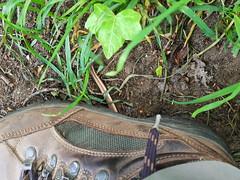 hazelworm - Anguis fragilis - deaf adder (Luc Coekaerts from Tessenderlo) Tags: reptile reptiel hazelworm anguisfragilis blindworm deafadder slowworm shoe schoen coeluc cc0 creativecommons 201905191301571lc nobody public w20190519averbode laakdalveerle vlaanderen belgië