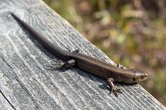 Outokumpu - Finland (Sami Niemeläinen (instagram: santtujns)) Tags: outokumpu suomi finland luonto nature särkisalmi outdoors pohjoiskarjala north carelia metsä forest sisilisko lizard