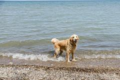 Nice and Cold DSN_2429 (iloleo) Tags: sherman goldenretriever dog ontario animal nikond7000