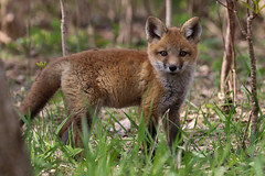 Red Fox Kit (stitchersue) Tags: fox redfox kit young curious woods kawarthalakes ontario canada