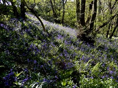 Blue Hill (Nanny Bean) Tags: hyacinthoidesnonscripta bluebells blue whorltonhill woodland