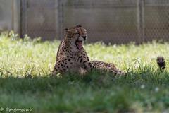 20190519-0017 (M.Pigmyowl) Tags: cheetah チーター 多摩動物公園
