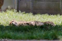 20190519-0015 (M.Pigmyowl) Tags: cheetah チーター 多摩動物公園