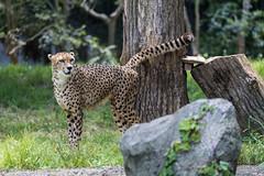 20190519-0008 (M.Pigmyowl) Tags: cheetah チーター 多摩動物公園