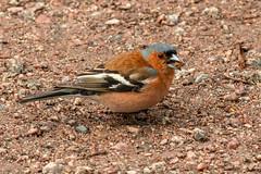 Bofink_IMG_2927-19 Fringilla coelebs (anders arman) Tags: bofink fink fringillacoelebs chaffinch birs fågel öland mörbylånga beijer beijershamn wildlife natur nature sweden
