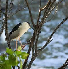 _A180965 (melsdad1) Tags: whiterocklake dallas texas spillway fishing heron egret nightheron sony100400mm sony7riii ibis