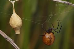 20190517-IMG_2711 (Sean McCann (ibycter.com)) Tags: agryodes agryodespluto texas theridiidae