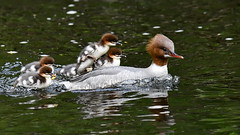 Goosander with chicks 2019-05-19_03 (Jan Thomas Landgren) Tags: merganser commonmerganser mergusmerganser storskrake skrake skrakar chick chicks birds bird djur fåglar fågel fauna aves animal animals avifauna wildlife river nature natur nikon nikond500 tamron tamron150600mm sweden sverige västergötland gothenburg göteborg outdoor outdoors
