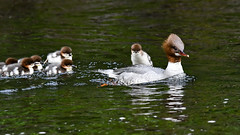 Goosander with chicks 2019-05-19_02 (Jan Thomas Landgren) Tags: merganser commonmerganser mergusmerganser storskrake skrake skrakar chick chicks birds bird djur fåglar fågel fauna aves animal animals avifauna wildlife river nature natur nikon nikond500 tamron tamron150600mm sweden sverige västergötland gothenburg göteborg outdoor outdoors