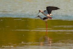 _JRH8549 (jeanrene31240) Tags: accouplement echassesblanches oiseaux nature ddo domainedesoiseaux ariège midipyrénées occitanie france lacs etangs nikon himontopushimontopus