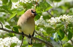 Cedar Waxwing (JDA-Wildlife) Tags: birds nikon nikond7100 tamronsp150600mmf563divc jdawildlife johnny portrait closeup eyecontact waxwings waxwingcedar cedarwaxwing gorgeous