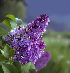 Der Flieder blüht... (Mariandl48) Tags: flieder blumen sommersgut wenigzell steiermark austria