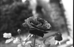 Flower_1 (g.tarantino) Tags: biancoenero ilford 100 plus olympus om10