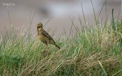 🇬🇧 Meadow pipit (vickyouten) Tags: vickyouten meadowpipit wildlife wildlifephotography naturephotography nikon nikond7200 nikonphotography sigma sigma150600mmc crosbybeach crosby liverpool uk