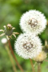 Le printemps dans mon jardin (Jean-Michel Bolle) Tags: fleur printemps pissenlit flower spring