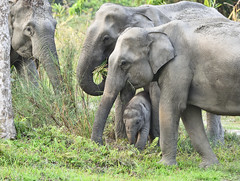 asian elephant (praveen.ap) Tags: asiaticelephant asianelephant elephant kaziranga