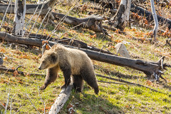 Like falling off a log (ChicagoBob46) Tags: grizz grizzly grizzlybear bear sow yellowstone yellowstonenationalpark nature wildlife coth5 ngc naturethroughthelens npc