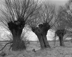 Willows (fotoswietokrzyskie) Tags: mamiyarz67 blackandwhite willows scan film medium format 6x7 monochrome tree winter ilford delta400 ddx sekor 90mm trees
