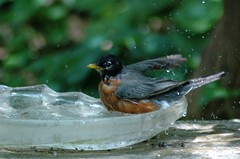 DSC_8071 (Grudnick) Tags: bird birdbath yard splash spring glass deco