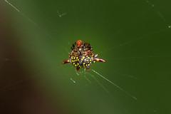 IMG_5077-tr (JLBenazra) Tags: bali201905 bali araignées spider
