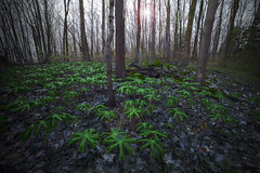 Mayapple Leaves Rattlesnake Point (Faron Dillon) Tags: green ferns nature leaves autumn sunset sunrise sony a7riii forest wide angle carpet niagara escarpment milton rattlesnake point mood trees dried sun flare art hiking