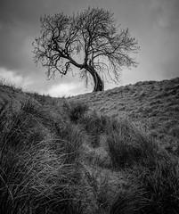 Lone tree (burnsmeisterj) Tags: olympus omd em1 tree mono blackandwhite monochrome