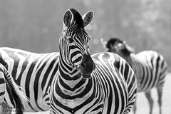 Zebra in black & white (ThomasMaribo) Tags: zebra wildlife animal lolland denmark danmark bandholm stripes black white blackandwhite equidae greyscale knuthenborg park