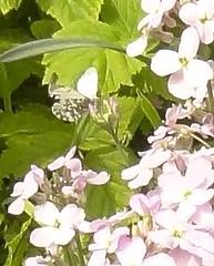 Female orange tip butterfly on Hesperis matronalis - Sweet rocket (monica_meeneghan) Tags: orangetip sweetrocket may19