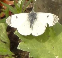DSC02642 Female orange tip butterfly (monica_meeneghan) Tags: orangetip may19
