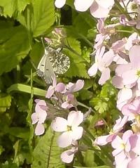 DSC02645 Female orange tip butterfly on Hesperis matronalis - Sweet rocket (monica_meeneghan) Tags: orangetip sweetrocket may19