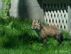 Fox Kits - Grimes Hill Road Sabinsville PA (dfbphotos) Tags: 2019 may spring tioga sabinsville tiogacounty places grimeshill wildlife foxkit fox pa usa