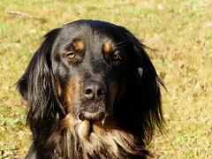 PIC13564-FZ300 (daniele.hauenstein) Tags: hund hovawart