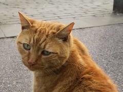 Friendly ginger tom (simon edge) Tags: cat feline ginger sheffield canon g5x