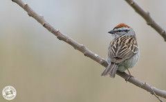Chipping Sparrow - Spizella passerina (Lauren Tucker Photography) Tags: america bird chippingsparrow jamaicabay nature newyork newyorkcity ny nyc usa wildlife canon slr camera markii 7d 100400mm copyright ©laurentuckerphotography photography photographer photograph photo image pic picture allrightsreserved 2019 winter spring colour wild mammal migration us city manhattan centralpark brooklyn queens spizella passerina
