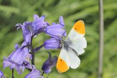 Orange Tip (D R Swift) Tags: butterfly orangetip wirral