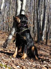 PIC13768-FZ300 (daniele.hauenstein) Tags: hund hovawart