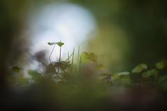 clover (pixiespark) Tags: clover klee moss moos forest wald bokeh licht light nature natur