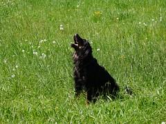 PIC15311-G81 (daniele.hauenstein) Tags: hund hovawart