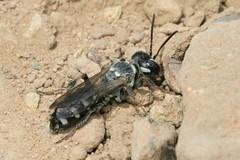 Cerceris boetica female (Juan Briantspuddle) Tags: cercerisboetica crabronidae philanthinae cercerini