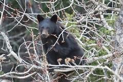 fullsizeoutput_437 (barrypphotos) Tags: blackbear waterton national park spring outside nature tree
