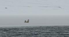 Who's there? (MrBlackSun) Tags: polar polarbear svalbard spitsbergen nature landscape arctic northpole nikon d850 nikond850 naturephotography landscapephotography