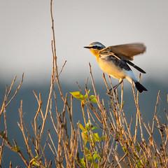 Wheatear (Richard J Hunt) Tags: wheatear ainsdale canon 700d birdwatching bird birding