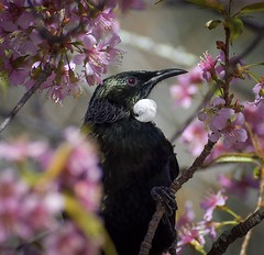 Tui (njohn209) Tags: birds d500 nikon nz