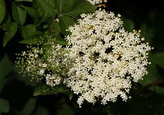 European Black Elderberry (Wild Chroma) Tags: flora netherlands heerenveen sambucus nigra sambucusnigra elderberry viburnaceae dipsacales