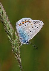 Common Blue Butterfly (Wild Chroma) Tags: netherlands butterfly insects heerenveen polyommatus icarus polyommatusicarus