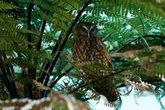 Morepork/ruru at Nga Manu, Waikanae (ROGERBEE.) Tags: newzealand newzealandbirds birds owls morepork ngamanu waikanae
