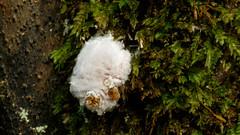 Unknown fungus (ROGERBEE.) Tags: newzealand newzealandfungi ngamanu fungi waikanae