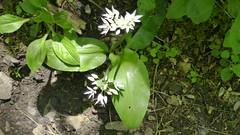 2019054ymd Wlk frm Ashford in the Water_0040 Great Shacklow Wood~Wild Garlic~Allium ursinum (paul_slp5252) Tags: derbyshire walking hiking whitepeak greatshacklowwood wildgarlic alliumursinum