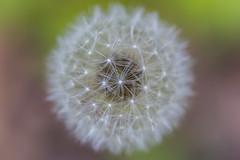 Pusteblume (Ready.Aim.Fire) Tags: nature natur makro macro canon 6d 2019 forest wald pusteblume löwenzahn spring frühling blume flower blossom